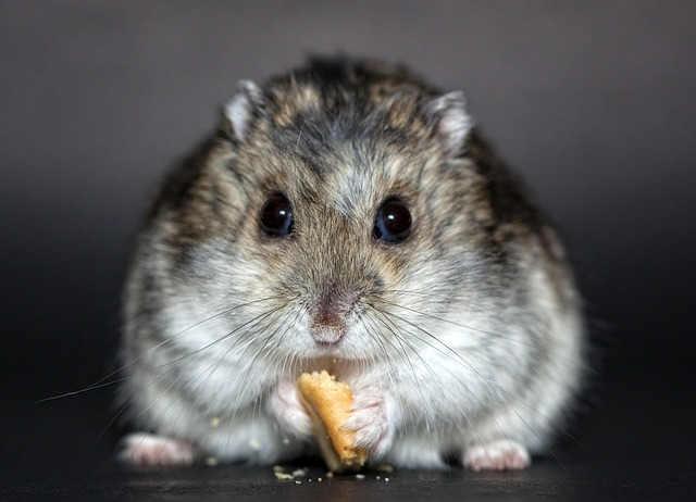intermittierendes fasten als Lösung für mehr Gesundheit - dicker Hamster beim Essen
